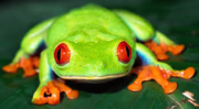 Frog 99