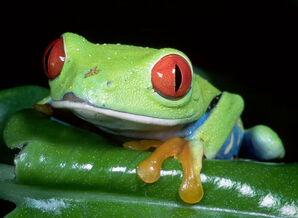 ImagesFROG 014 Red-eyed tree frog