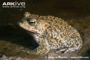 Natterjack-toad--1-