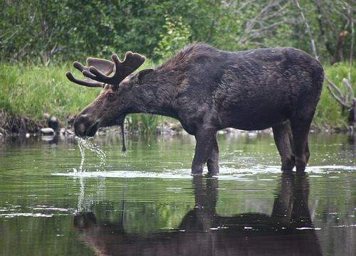 File:Moose Drool.jpg