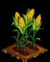 Corn fruit