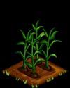 Corn green