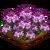 Spider Flower-icon