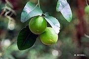 Wild lime fruits - Sarasota Jungle Gardens - Sarasota, Florida - 5 Nov. 2008