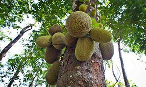 JJackfruit-or-Jack-Tree-A-007