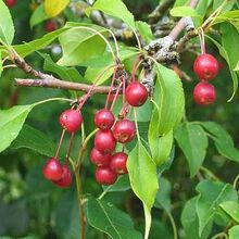 Southern Crabapples