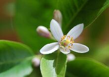 Lemon Flower 3