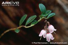 Lingonberry Flower