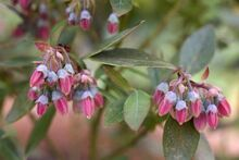 Pink Blueberry Flowers
