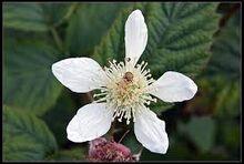 Loganberry Flower