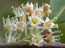 Cherry Laurel Flowers