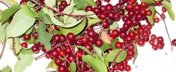 Chokecherries