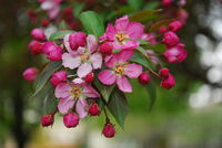 Pink Chokecherry Flowers