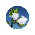 Icon Cotton.png
