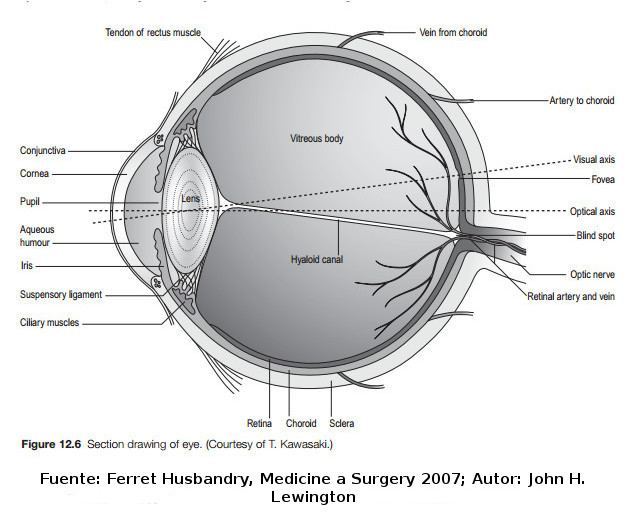 Imagen - Anatomia ojo.jpg | Wiki Furopedia | FANDOM powered by Wikia