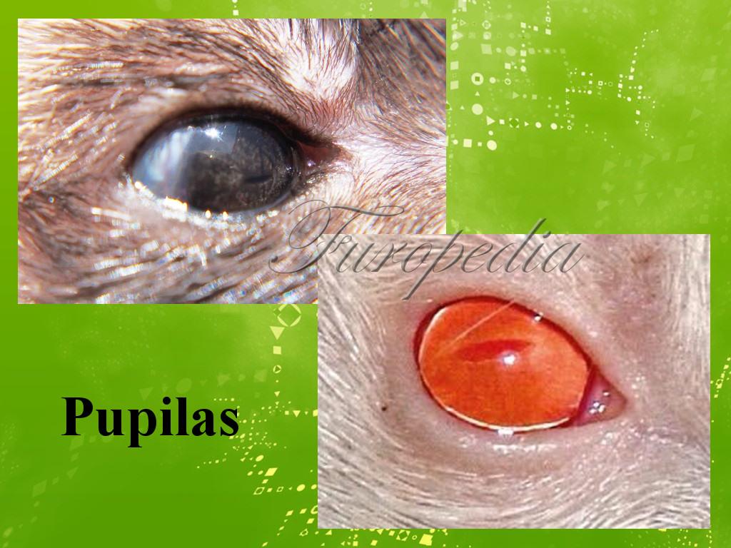 La visión en los hurones y enfermedades oculares   Wiki Furopedia ...