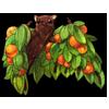 1825-orange-fruit-tree-bat