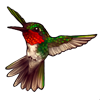 609-red-throated-hummingbird