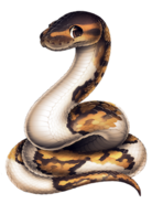 118-21-piebald-ball-python