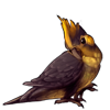 2490-gold-crested-cockatiel