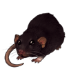Deep Brown Dumbo Rat