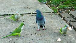 Попугаи и голубь