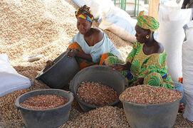 Сбор арахиса в Гамбии