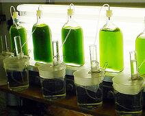 Производство водорода с помощью водорослей