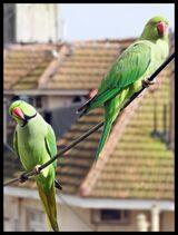 Городской попугай