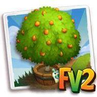 Elder Fukushu Kumquat Tree