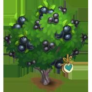 Heirloom Texas Persimmon Tree