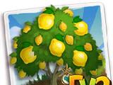 Heirloom Femminello Lemon Tree