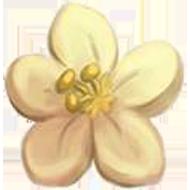 White Cassia Flower
