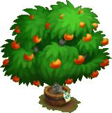 Elder Sanguinello Blood Orange Tree