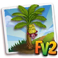 Lady Finger Banana Tree