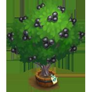 Elder Texas Persimmon Tree