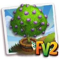 Elder Pink Ilama Fruit Tree