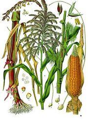 Maize - corn