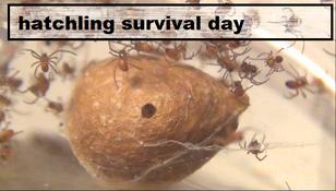 Hathatchling survival day