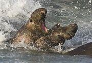220px-Elephant seals fighting