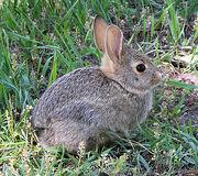 375px-Rabbit in montana