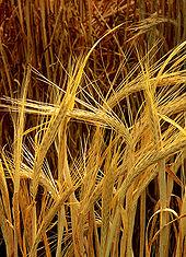 170px-Hordeum-barley