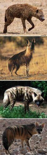 Hyaenidae