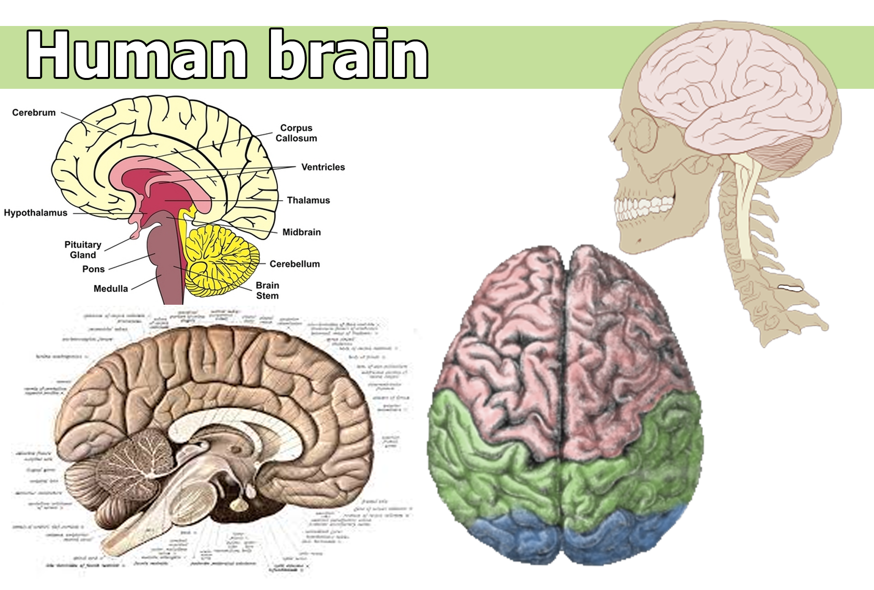 Human brain | Galnet Wiki | FANDOM powered by Wikia