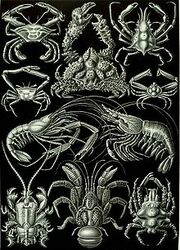 220px-Haeckel Decapoda
