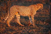 Cheetah Umfolozi SouthAfrica MWegmann