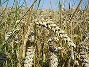 250px-Wheat close-up