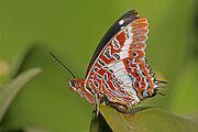 250px-Charaxes brutus natalensis