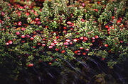 220px-Cranberry bog