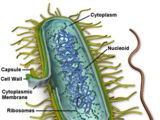 Pleuropneumonia-like organism